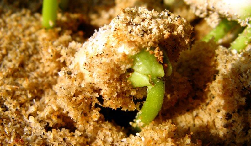 حبة فاصوليا بيضاء وقد بدأت تنمو وتدفع التربة لتخرج الى الشمس