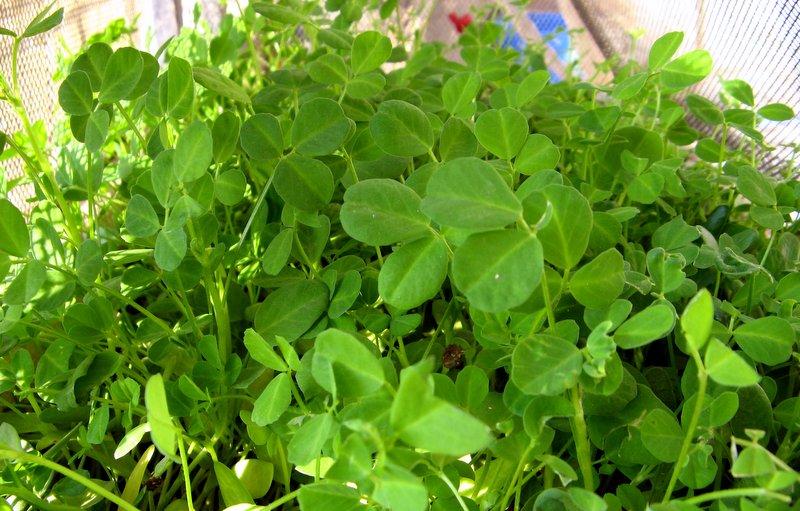 بذور الحلبة وقد نمت وظهرت اوراقها الخضراء الجميلة
